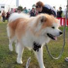 第二の「わさお」を探せ! ふさふさロン毛の秋田犬が集まり「ぶさカワ」コンテスト