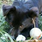 遠い南の島からやってきた雑種犬あんこ。バアちゃんの作るきゅうりが大好き
