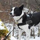 ベアドッグ・ハンドラーの田中純平さん リゾートで「クマ対策犬」のタマを訓練中
