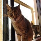 第41回 大声を張り上げて鳴く猫 「問題行動」が起きたら、生活の質の改善を