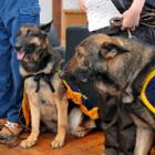 シェパード3匹、足跡を追って捜査に協力します! 嘱託警察犬に「任命」