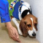 クンクン…シロアリだ! ビーグルの「探知犬」が活躍中 文化財調査もおまかせ