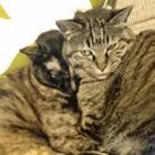ぽっちゃり猫にダイエット 悲しげな表情をする猫