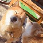 古民家食堂の柴犬2匹 湖のパトロールが日課、野生動物よけの番犬にも