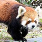 かわいい顔して計算高い?!レッサーパンダが堂々1位 動物園の人気投票