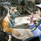 ガラス越しにトラが接近、見上げるとユキヒョウが歩く! 東山動植物園、80周年でリニューアル