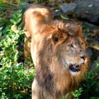 「こぶ」が小さくなって、すくすく成長中! 東山動植物園のライオン「ソラ」、甲状腺を治療