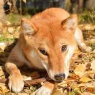 犬の反抗期は何歳ごろ起きやすい? トレーナーが解説