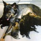幻の「薩摩犬」を愛した西郷どん 忠実で機敏、消えた猟友