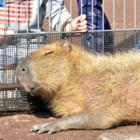 もふもふ人気、新入りのカピバラ娘 「私の名前、つけてね~!」 盛岡市動物公園