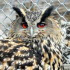 「シマフクロウの卵、わたしが温めます」 釧路市動物園、ワシミミズクに白羽の矢