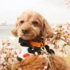 桜を愛でに海へ街へ。愛犬ぷりぷりとお花見散歩、オカンのシメは「ぷり見酒」!