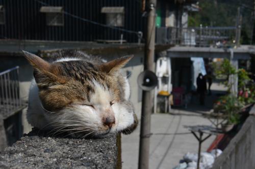猫村の塀の上で寝る猫。人が通っても全く気にしない=鵜飼啓撮影