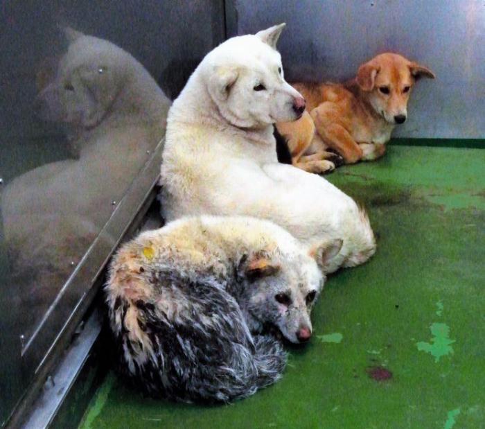 広島県では譲渡の際の上限年齢を定めていない。だが大型犬の飼育は高齢者には負担が大きい=広島県動物愛護センター