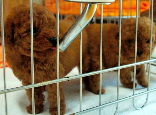 日本の法律では現在、生後45日をすぎた子犬や子猫なら販売できる。一方、欧米先進国の多くで「8週齢規制」が常識だ(本文と写真は関係ありません)  <br />