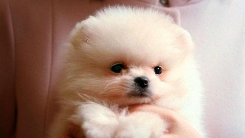 ソフトバンクのCMに出てくる子犬の「ギガ」 (同社提供)