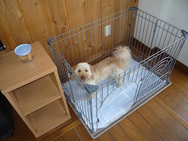 サークルにペットシーツを敷き詰めた犬用トイレを使うキャベツくん