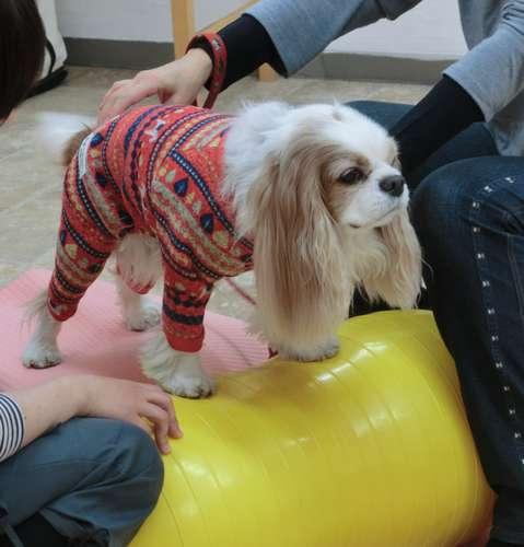犬専用のバランスボールに乗る犬。講師や飼い主が支えられながらエクササイズをする=東京都世田谷区の「Dog Life Design」