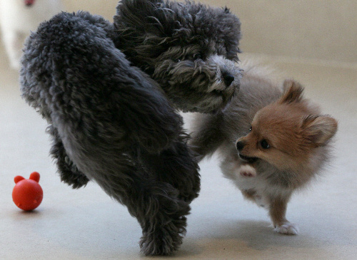 トイプードル(左)、ポメラニアンとチワワのミックス犬=竹谷俊之撮影