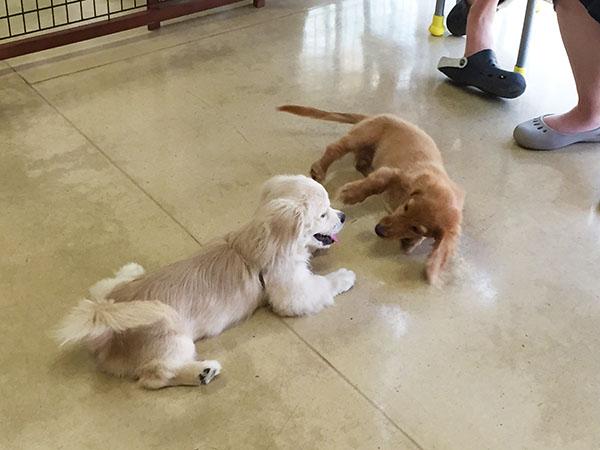 パピークラスでの子犬同士の遊び