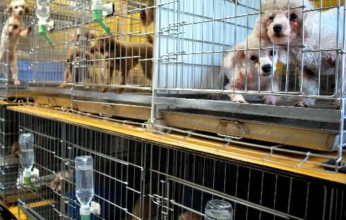 九州の繁殖業者のもとでも、繁殖用の犬はケージの中で飼育されていた