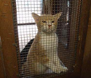 猫たちは金網張りの猫舎に閉じ込められている。この猫は人恋しいのか、こちらに向かって泣き続けていた=北九州市