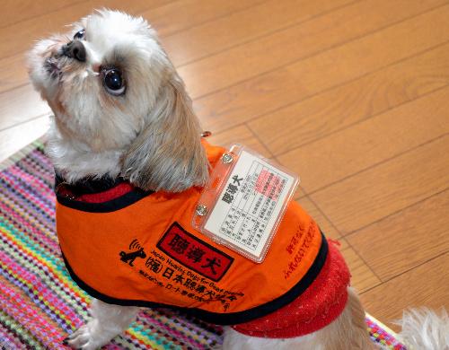 捨て犬だったミミ姫。働く時は認定された聴導犬の証明となる「聴導犬」と書かれたハーネスと、認定番号などが記された名札を着用する