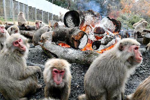 たき火で暖を取るヤクニホンザル=愛知県犬山市の日本モンキーセンター