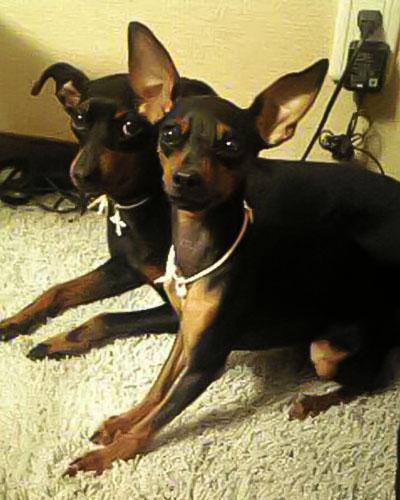 今は亡きピン(左奥)。妹犬のココ(右)が家に来たころ