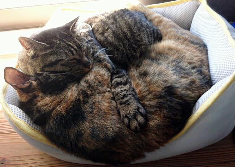 ぽっちゃり猫モモ(上)相棒猫と仲良くひなたぼっこ