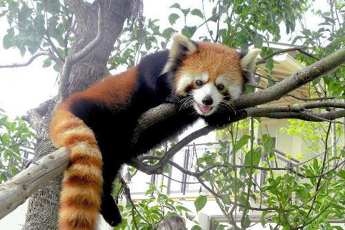 京都市動物園の人気投票で1位を獲得したレッサーパンダの「ジャスミン」